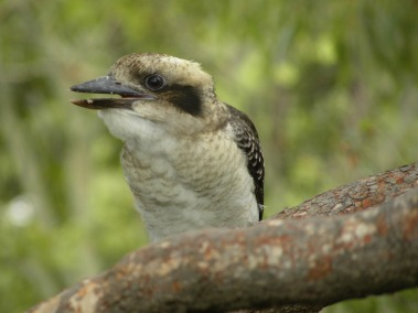 laugh kookaburra laugh